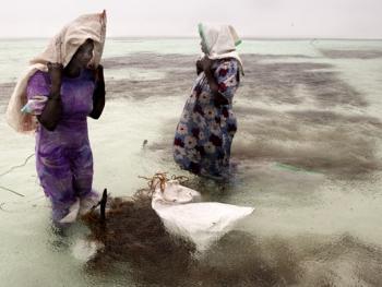 坦桑尼亚的海藻收获05