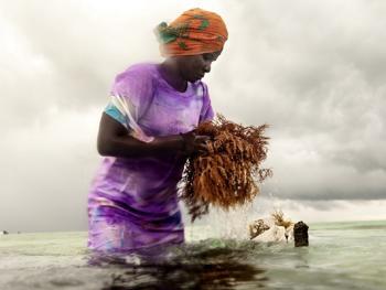 坦桑尼亚的海藻收获06