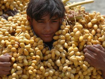 巴基斯坦椰枣初加工01
