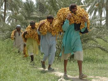 巴基斯坦椰枣初加工02