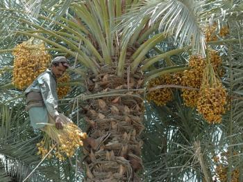 巴基斯坦椰枣初加工03