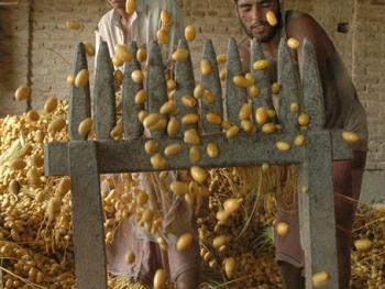 巴基斯坦椰枣初加工06