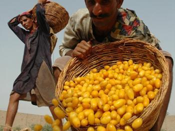 巴基斯坦椰枣初加工07