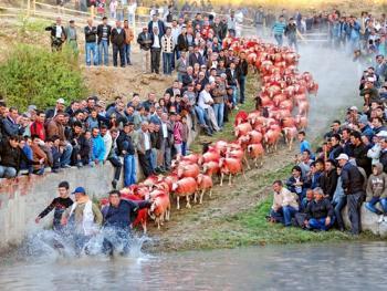 泰芬尼镇的赶羊过河比赛11
