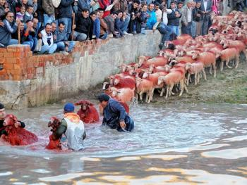 泰芬尼镇的赶羊过河比赛