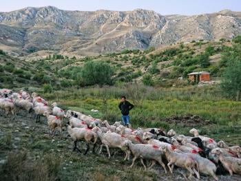 泰芬尼镇的赶羊过河比赛13