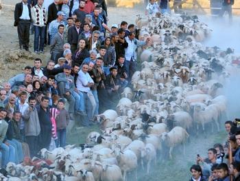 泰芬尼镇的赶羊过河比赛09