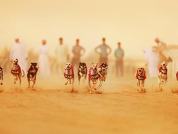 阿联酋动物赛跑07