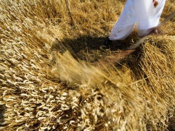 本耶夫奇人的小麦崇拜03