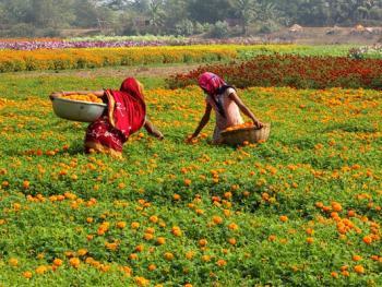 印度乡村妇女的劳作12