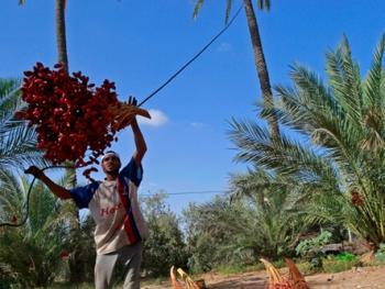 巴勒斯坦收获椰枣10