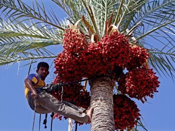 巴勒斯坦收获椰枣