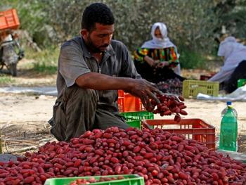 巴勒斯坦收获椰枣12