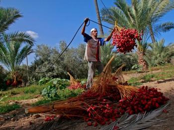 巴勒斯坦收获椰枣13