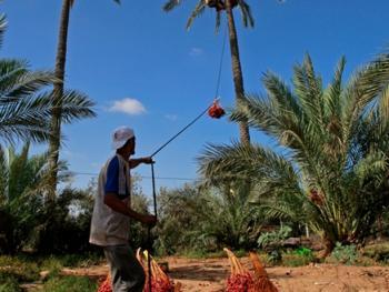 巴勒斯坦收获椰枣06