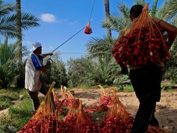 巴勒斯坦收获椰枣09