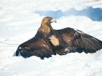 阿勒泰山的哈萨克猎鹰人10