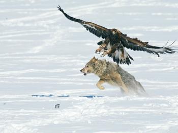 阿勒泰山的哈萨克猎鹰人08