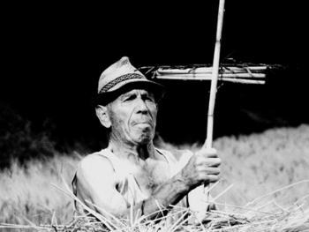 皮塞努姆小麦收获11