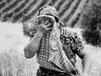 皮塞努姆小麦收获13