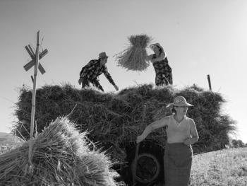 皮塞努姆小麦收获