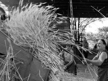 皮塞努姆小麦收获08