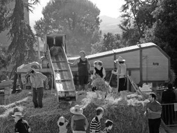 皮塞努姆小麦收获09