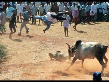泰米尔乡村斗牛