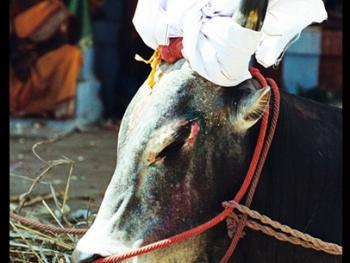 泰米尔乡村斗牛14
