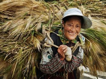收青稞的藏族女人们