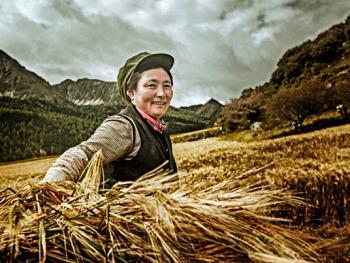 收青稞的藏族女人们3