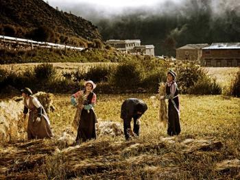 收青稞的藏族女人们6