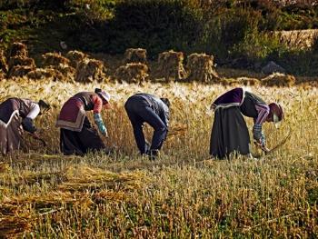 收青稞的藏族女人们7