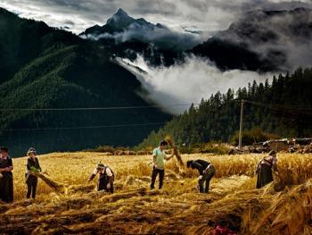 收青稞的藏族女人们8
