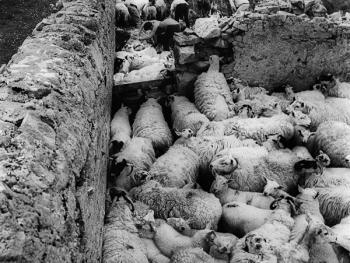 爱尔兰传统剪羊毛习俗05