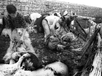 爱尔兰传统剪羊毛习俗06