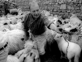 爱尔兰传统剪羊毛习俗07