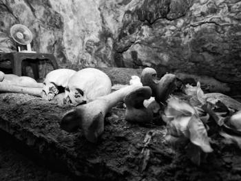 托拉雅人的葬俗07