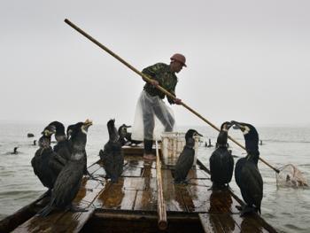 洞庭湖鸬鹚捕鱼10