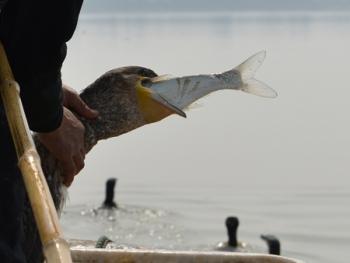 洞庭湖鸬鹚捕鱼09