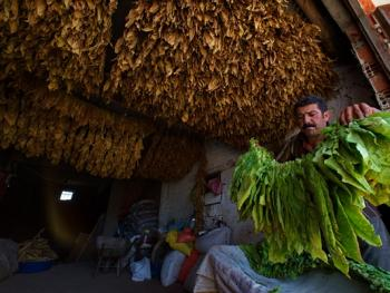土耳其传统家庭烟草生产10