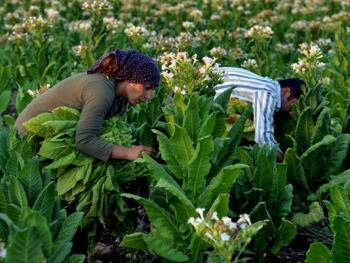 土耳其传统家庭烟草生产01