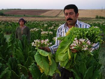 土耳其传统家庭烟草生产