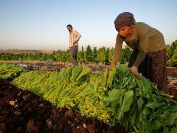 土耳其传统家庭烟草生产04