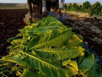 土耳其传统家庭烟草生产05