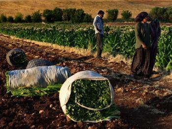 土耳其传统家庭烟草生产06