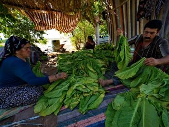 土耳其传统家庭烟草生产07