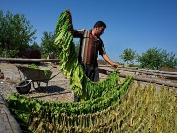土耳其传统家庭烟草生产09