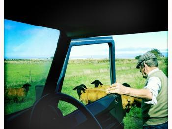 苏格兰养羊10