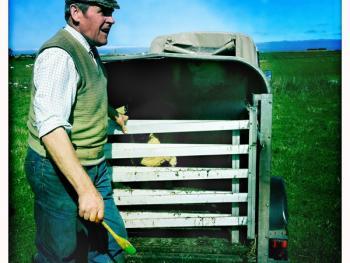 苏格兰养羊12